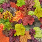 heuchera_mix_large-150x150