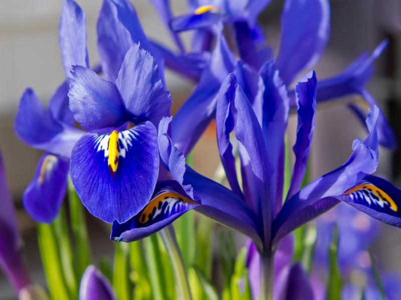 Blue iris and purple crocus in flowerbed in spring.