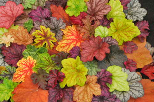 heuchera_mix_large