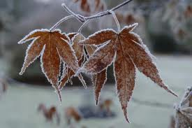 Frosted Acer