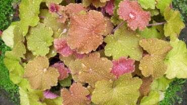 Heuchera, what are they and why I use them time and time again
