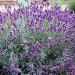 lavender-imperial-gem-150x150