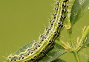 Box Tree Caterpillar: What is it? And what can I do about it?